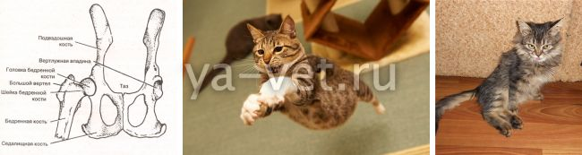 перелом таза у кошки лечение