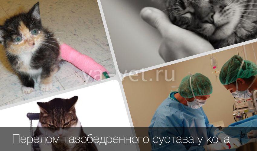 Перелом таза у кошки: симптомы, лечение и последствия