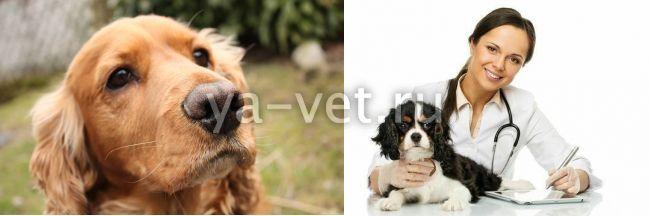 Перитонит у собаки