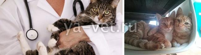 прививка от бешенства кошке когда делать