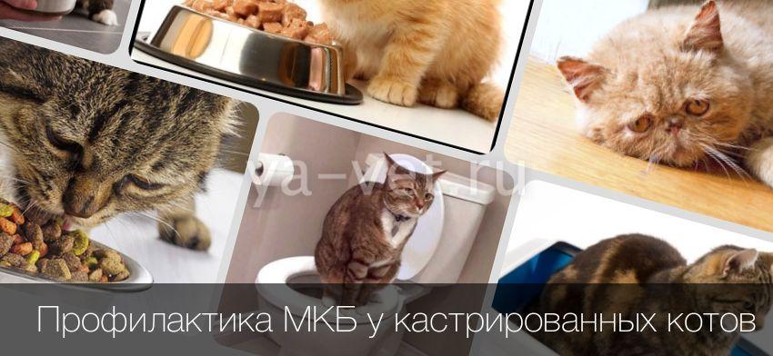 Правила профилактики мочекаменной болезни у кошек