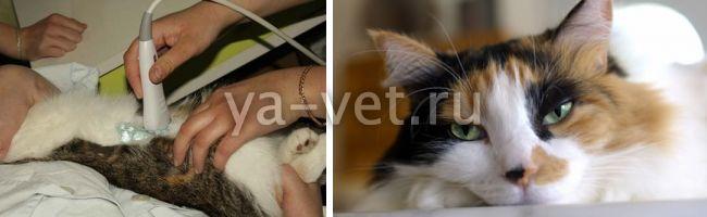 профилактика мкб у кастрированных котов