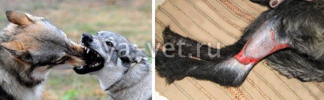 раны на ушах у собаки от мух