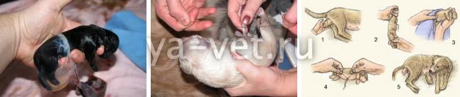 щенение собак мелких пород