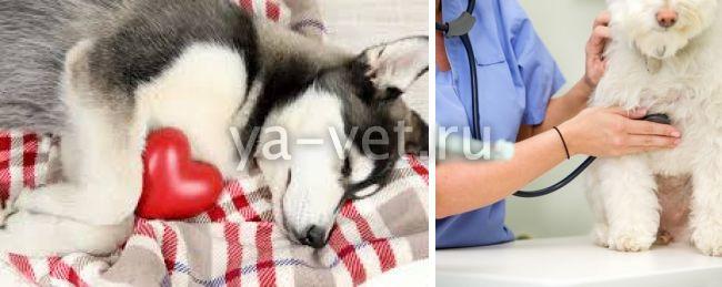 сердечная недостаточность у собак симптомы