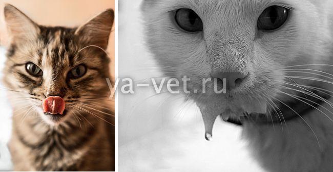 слюнотечение у кошки причины