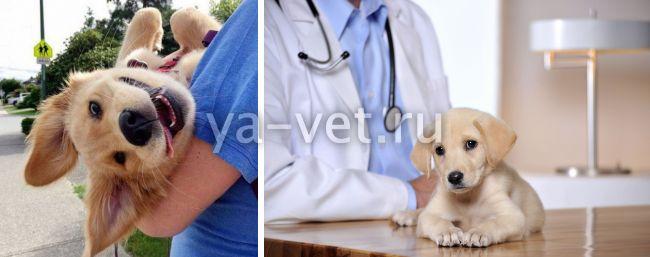 собака не выздоравливает после аденовироза