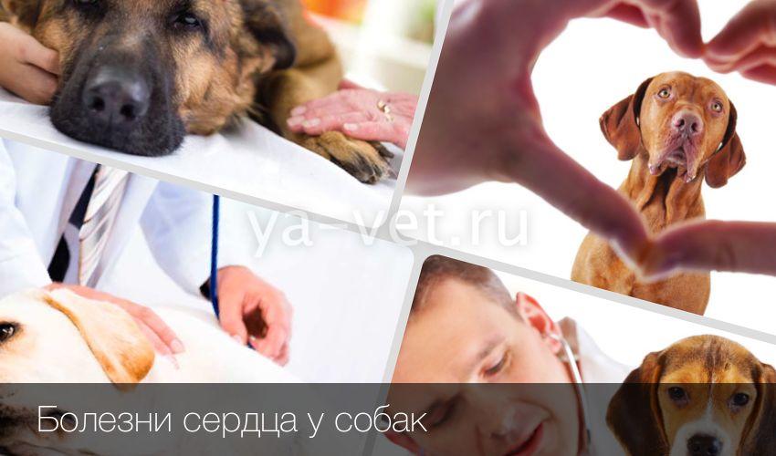 Шумы в сердце у собаки лечение