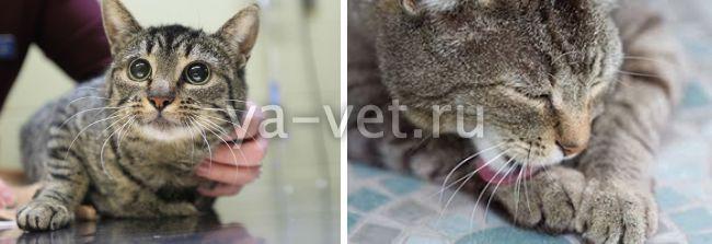 стафилококк у кота