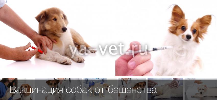 Куда ставить прививку от бешенства собаке