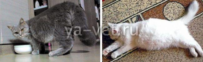 у кота вирусная инфекция как лечить