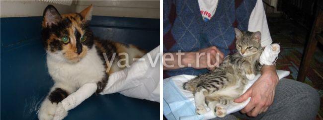 ушиб лапки у котенка симптомы