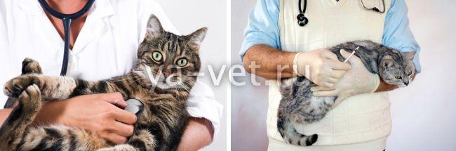 вирусная инфекция у кошек симптомы сопровождающие лечение