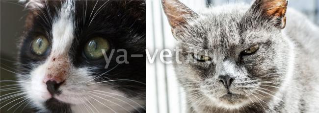 Хронические болезни котов