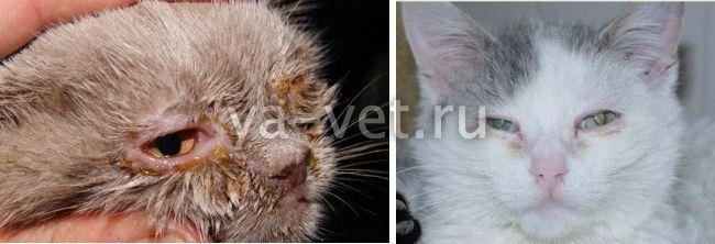 вирусная инфекция у кошек симптомы