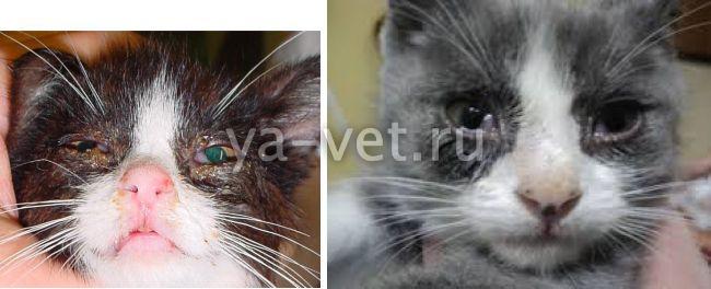 вирусная инфекция у кота