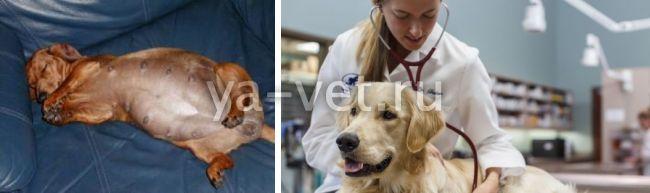 воспаление матки у собаки