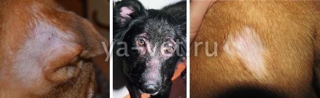 выпадение шерсти у собаки описание болезни лечение