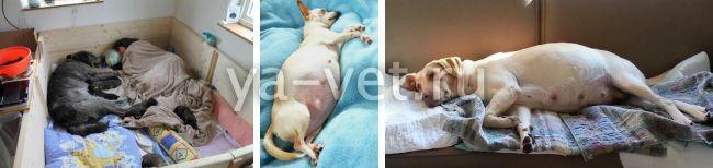 здоровые роды у собак