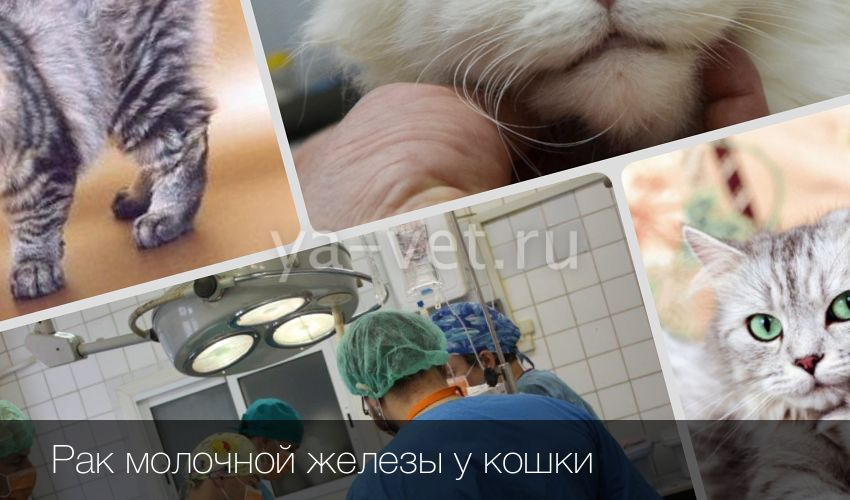 Лечение народными средствами рак молочной железы у кошки