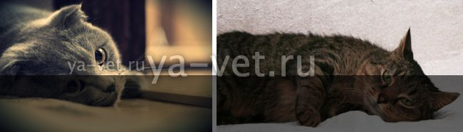 мастопатия у кошек лечение
