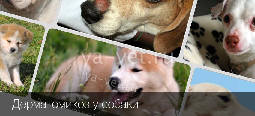 дерматомикоз фото у собак