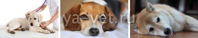 анемия у собак симптомы