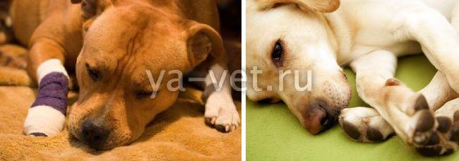 артроз у собак симптомы лечение
