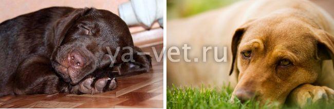 болезнь лайма у собак симптомы и лечение