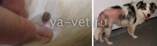 болезнь лайма у собак симптомы