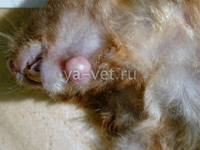 болезни джунгарских хомяков и их лечение