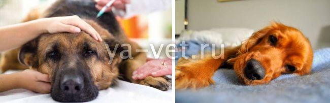 бронхит у собаки лечение