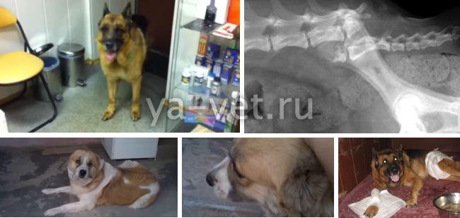 бурсит у собак лечение