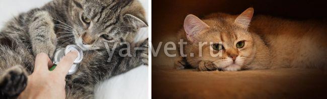 чем лечить короновирусный гастроэнтерит у кошек