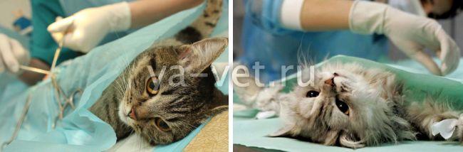 что нужно сделать перед стерилизацией кошки