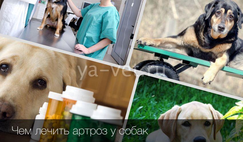 Собачья болезнь суставов