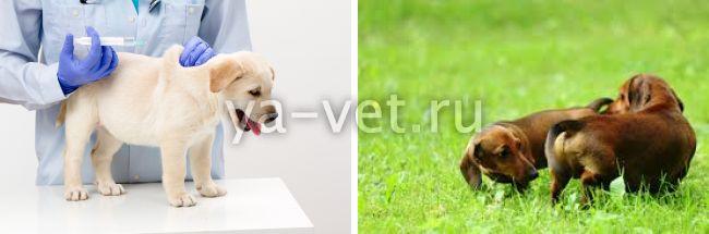 дерматомикоз у собак, что делать