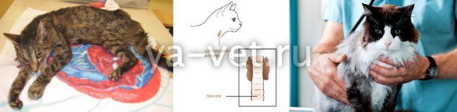 гипертиреоз кошек симптомы