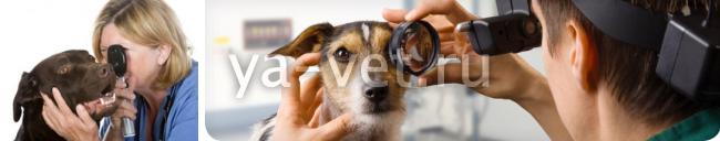 глаукома у собак симптомы