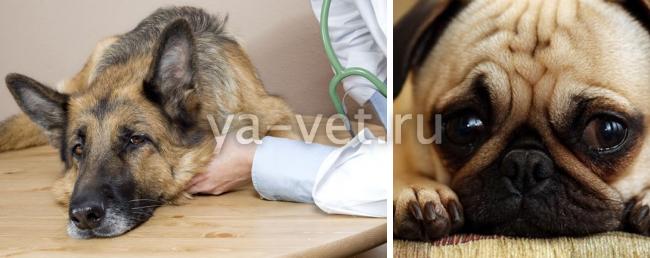 глаукома у собаки лечение