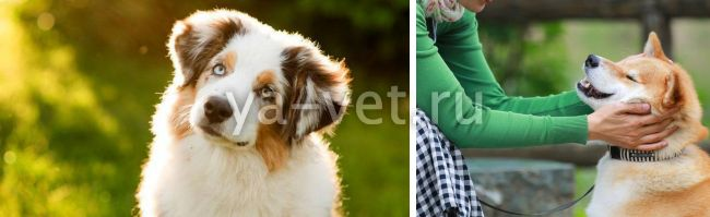 глаукома у собаки после травмы