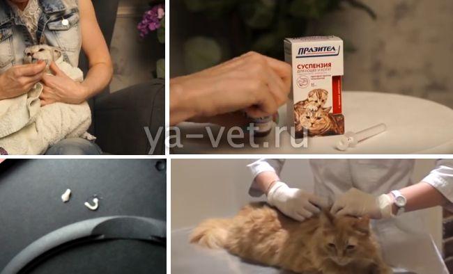 глисты у кошек огуречный цепень