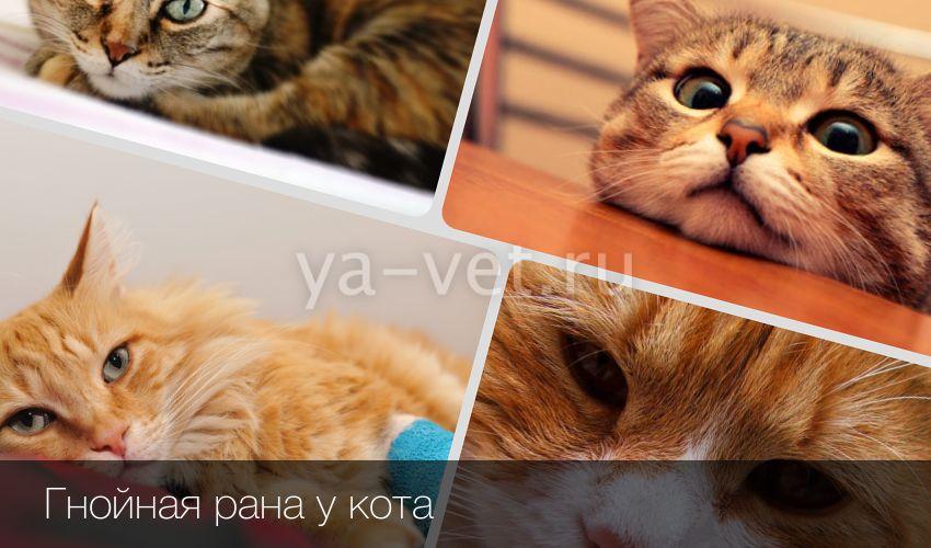 Гнойная рана на щеке у кота: чем вызвана и как лечить?