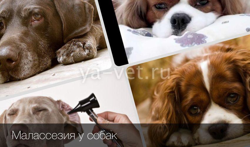 Грибок малассезия у собак: лечение патологии