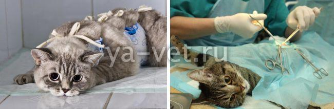 химиотерапия при раке молочной железы у кошки