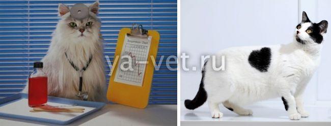 инфаркт у кошек симптомы