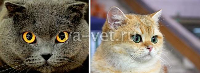 инфекционные заболевания глаз у кошек