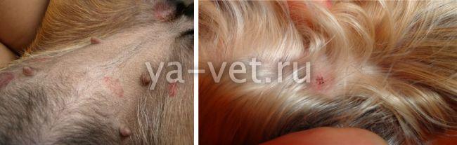 как лечить блошиный дерматит у собак