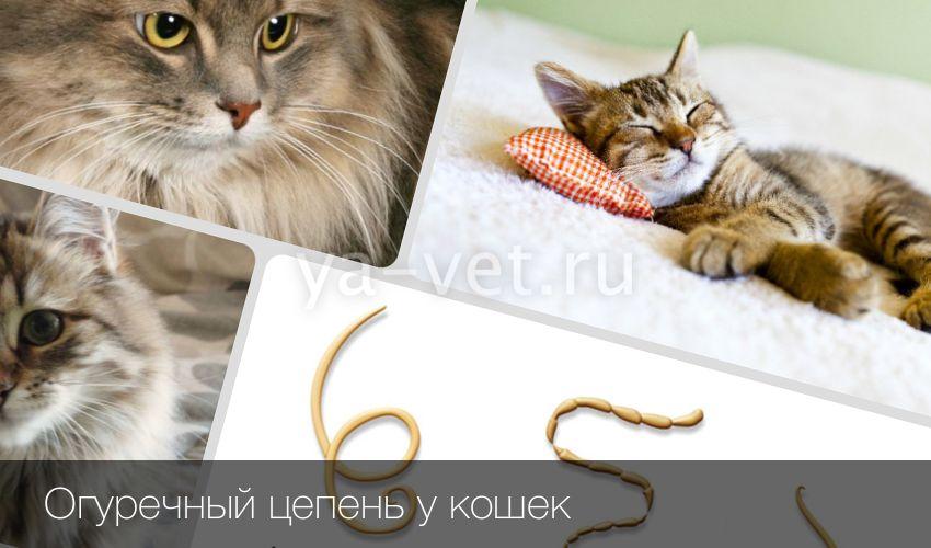 Глист огуречник у кошек симптомы и лечение