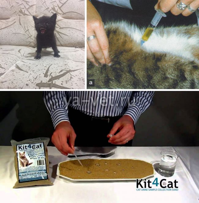 как собрать мочу у кошки для анализа